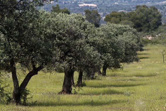 foto-original-Campo-de-olivos-4bfead1a44648